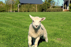 A pet lamb races to be fed at Dusky Ridges farm stay